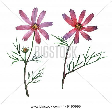 Pink, purple Cosmos bipinnatus, commonly called the garden cosmos or Mexican aster. Watercolor hand painting illustration on isolate white background.