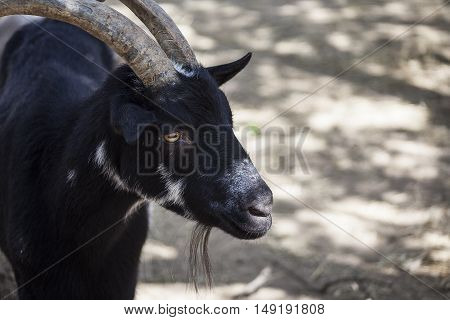 A black, bearded and horned goat finds shade.