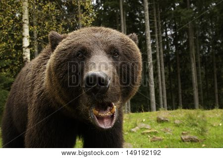 Big brown bear roars showing his fangs
