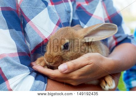 Brown little hare sits in man's hands