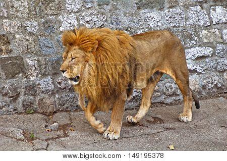 Big male African lion walking (Panthera leo)