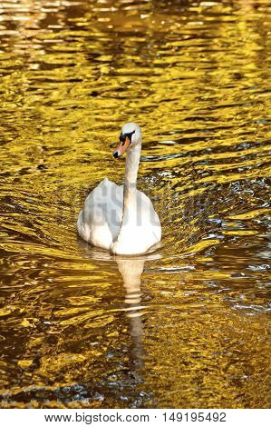 Amazing white swan with reflection swims in water