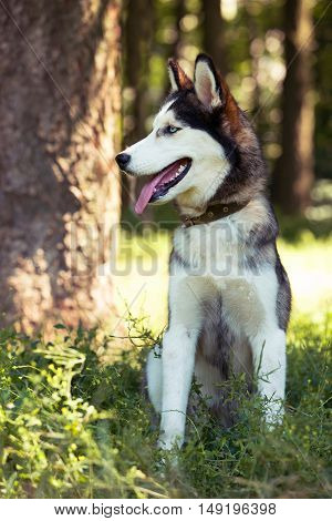 the dog breed Siberian Husky is sitting on green grass