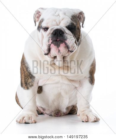 english bulldog puppy sitting looking at viewer isolated on white background