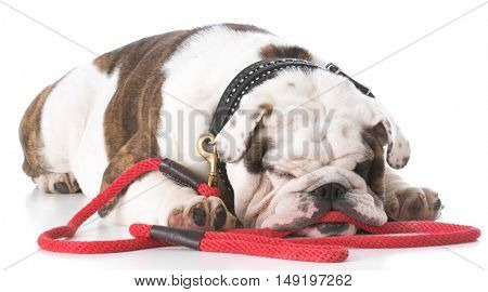 english bulldog laying down waiting to go for a walk