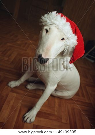 White bull Terrier in a Christmas hat in the house