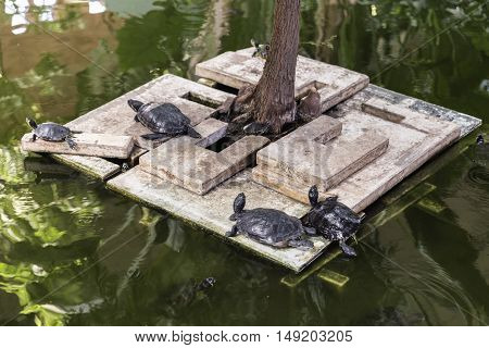European pond turtle resting on a platform in the lake. Emys orbicularis