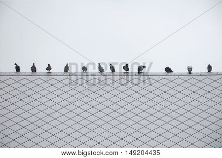Queue Of Group/flock Pigeon Or Dove Birds On Roof Tile.