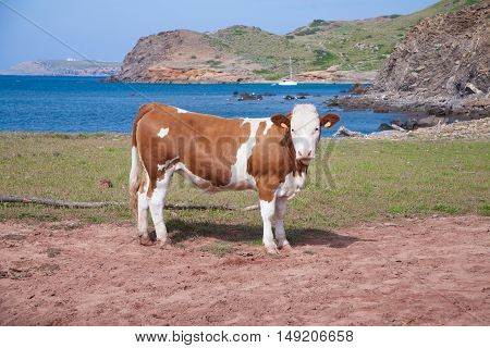 Brown And White Cow Looking Next To Sea