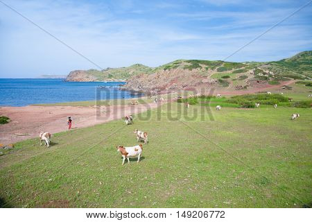white and brown cows standing on grass field looking at people tourist walking in path next to the sea in Menorca Balearic Islands Spain Europe