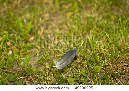 One grey feather on the green grass