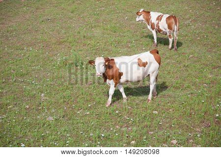 Two Cows On The Grass