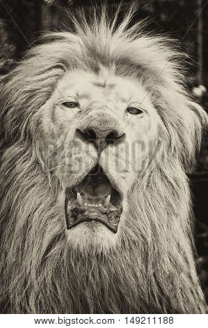 Male African lion in all of his glory. Black and white portrait.