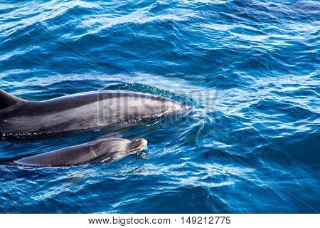 Mother and baby dolphin swimming at the surface at Bay of Islands in New Zealand