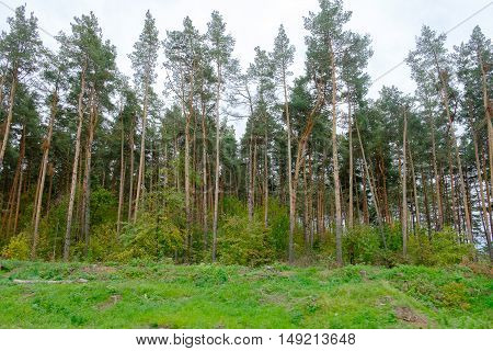 Pine forest and grassland. Example of  coniferous forest