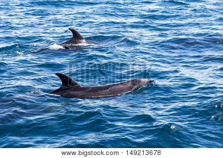 Two dolphins swimming at the surface at Bay of Islands in New Zealand