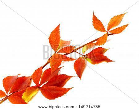 Red Autum Branch Of Grapes Leaves (parthenocissus Quinquefolia Foliage)