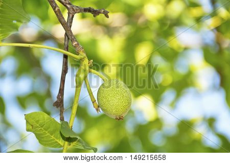 Green, unripe walnut growing on a tree