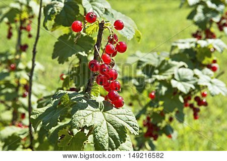 Ripe red currants hanging from bush ready for harvest.