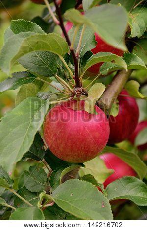red Apples on tree in summer garden