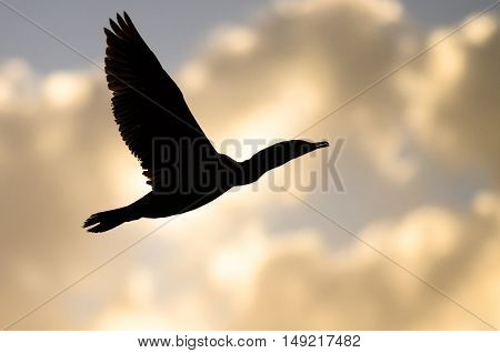 Double-Crested Cormorant Silhouetted in the Sunset Sky As It Flies