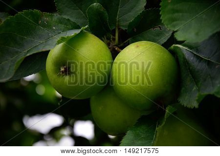 green Apple on tree in summer garden