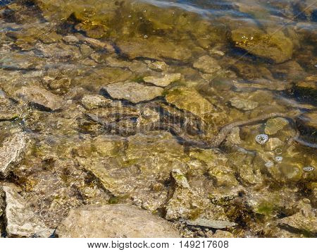 Water snake swimming in a mountain stream camouflaged among the rocks