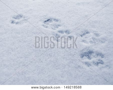 A cat footprints in the snow in winter.