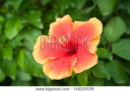 Beautiful Red Yellow Malvacea Hibiscusr Flower