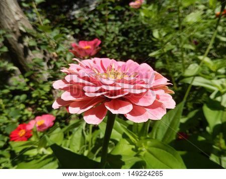 Closeup of a pink daisy flower blooming in the garden