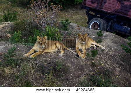 Two lionesses lie in the grass on a hill next to the car (truck). Sunny day.