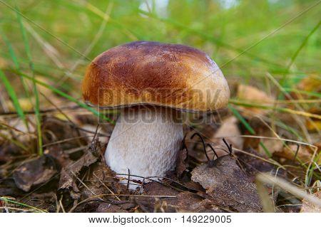 Mushrooms Boletus growing in forest. Autumn Cep Mushrooms. Mushrooms Picking.