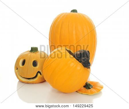 A tiny puppy inside a pumpkin, attempting to get out.  On a white background.