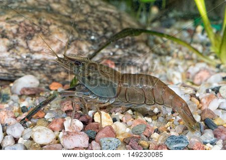 Portrait Of Freshwater Shrimp (macrobrachium Asperulum)
