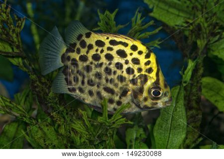 Portrait (scatophagus Argus) Fish In Aquarium