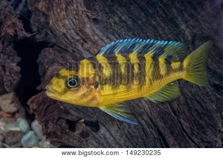 Portrait Of Cichlid Fish (pseudotropheus Crabro) In Aquarium