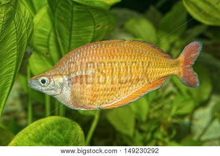Portrait Of Rainbowfish (melanotaenia Herbertaxelrodi) In Aquarium
