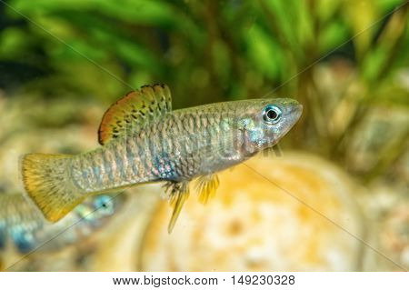 Portrait Of Livebearer Fish (brachyrhaphis Roseni) In Aquarium