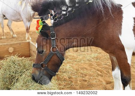 closeup dwarf horses eating hay used in the show
