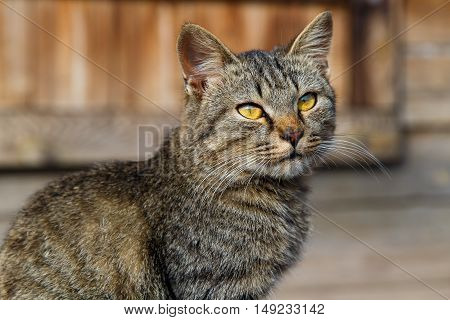 Beautiful gray cat sitting on a wooden porch.