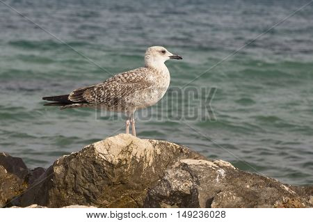 Seagull - larus michahellis on the cost of the Mediterranean Sea