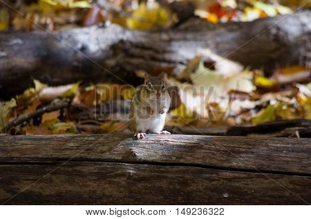 small chipmunk on a log in autumn