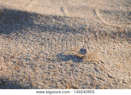 A ghost crab on a sandy beach of the Atlantic Coast on a sunny day.