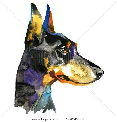 Doberman Animal dog watercolor illustration isolated on white background