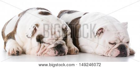 male and female english bulldogs on white background