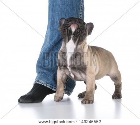 french bulldog puppy standing at owners feet on white background