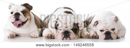 three english bulldogs laying beside each other on white background