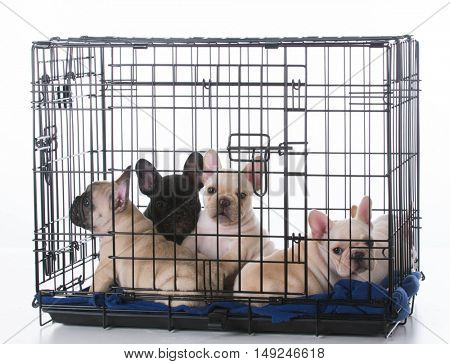five french bulldog puppies in a crate