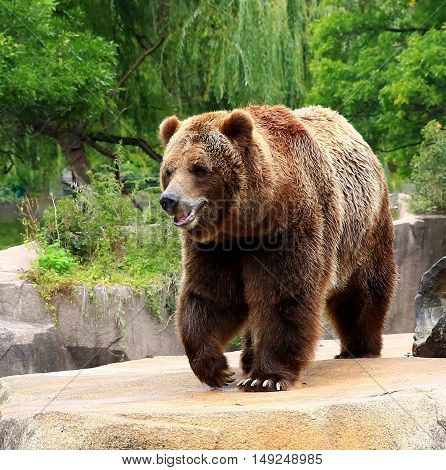 North American Brown Bear quietly striding upon his turf