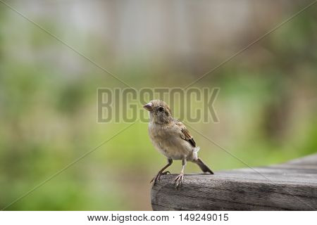 close up house sparrow with green blur background